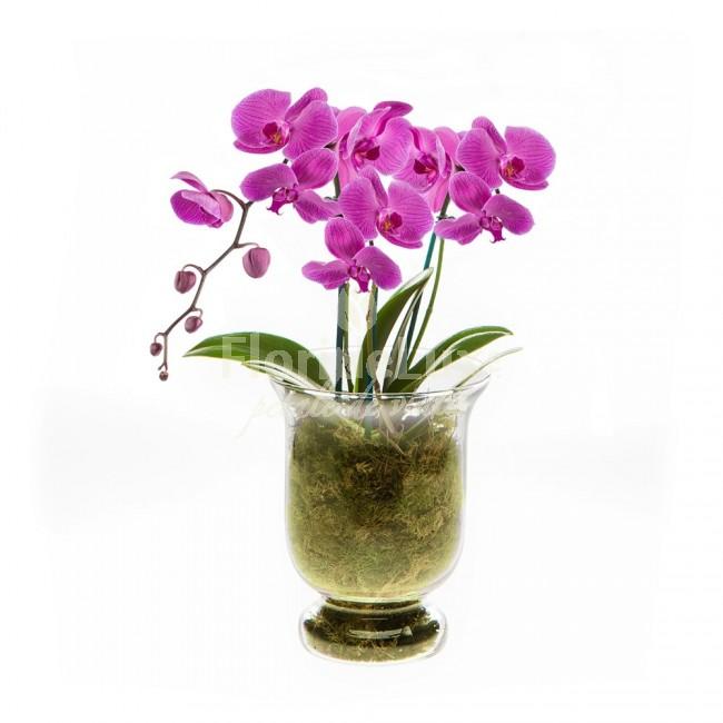 orhidee phalaenopsis in vaza