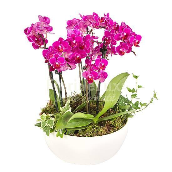 orhidee_phalaenopsis_ansamblu_1_