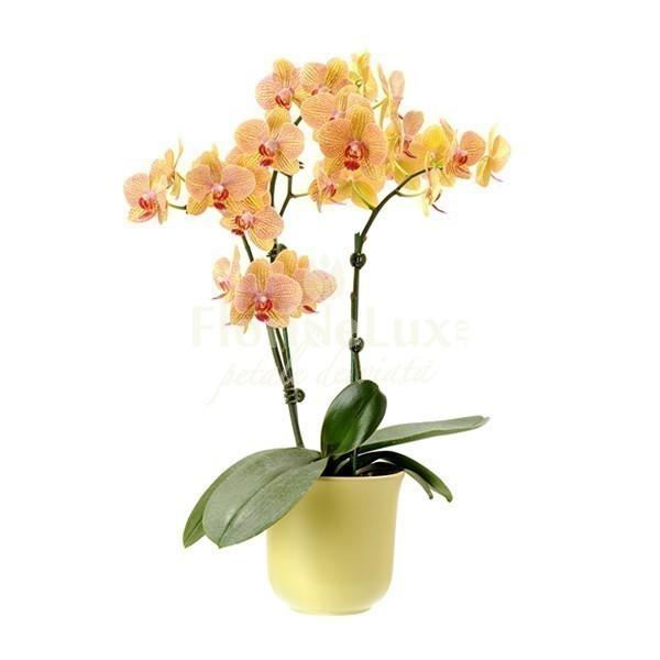 orhidee_phalaenopsis_galbena