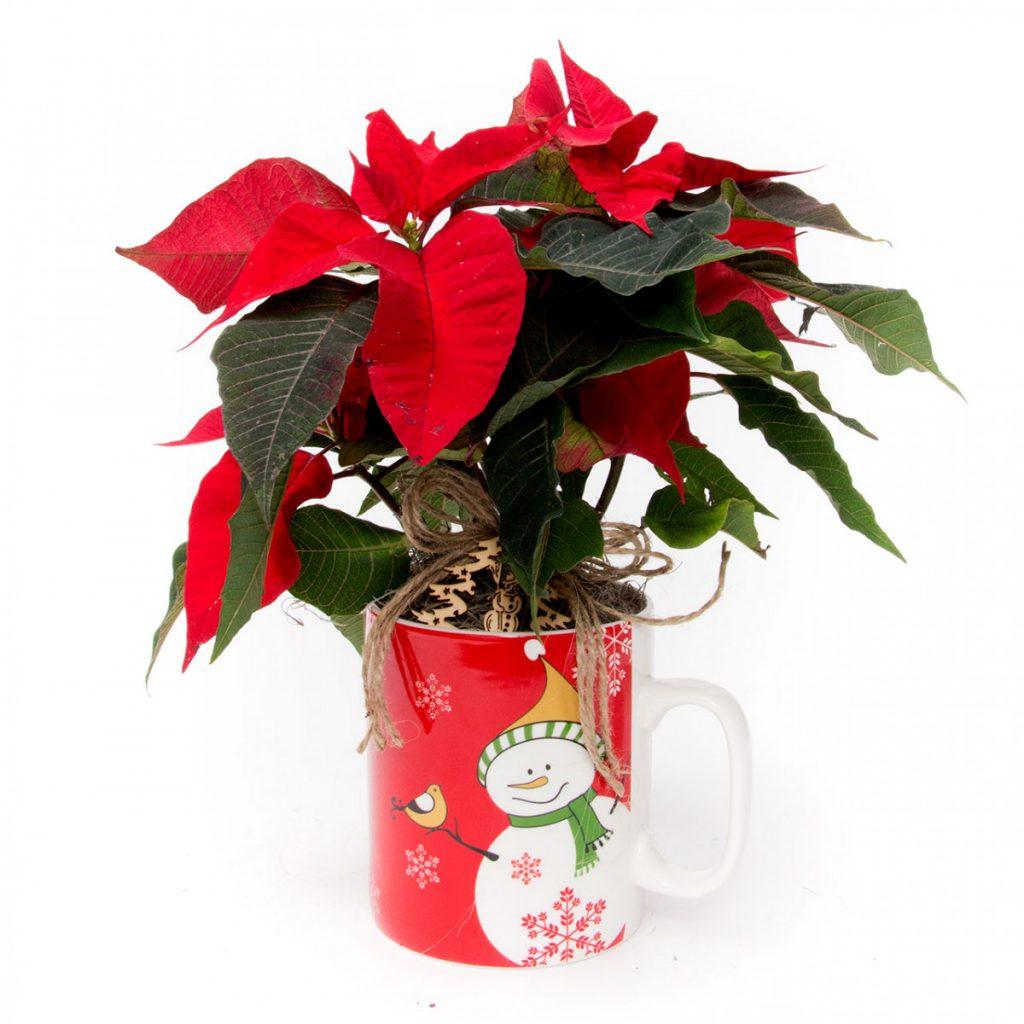 Top 5 Crăciunițe cadou, Aranjament Crăciun, doar 129,99 RON!