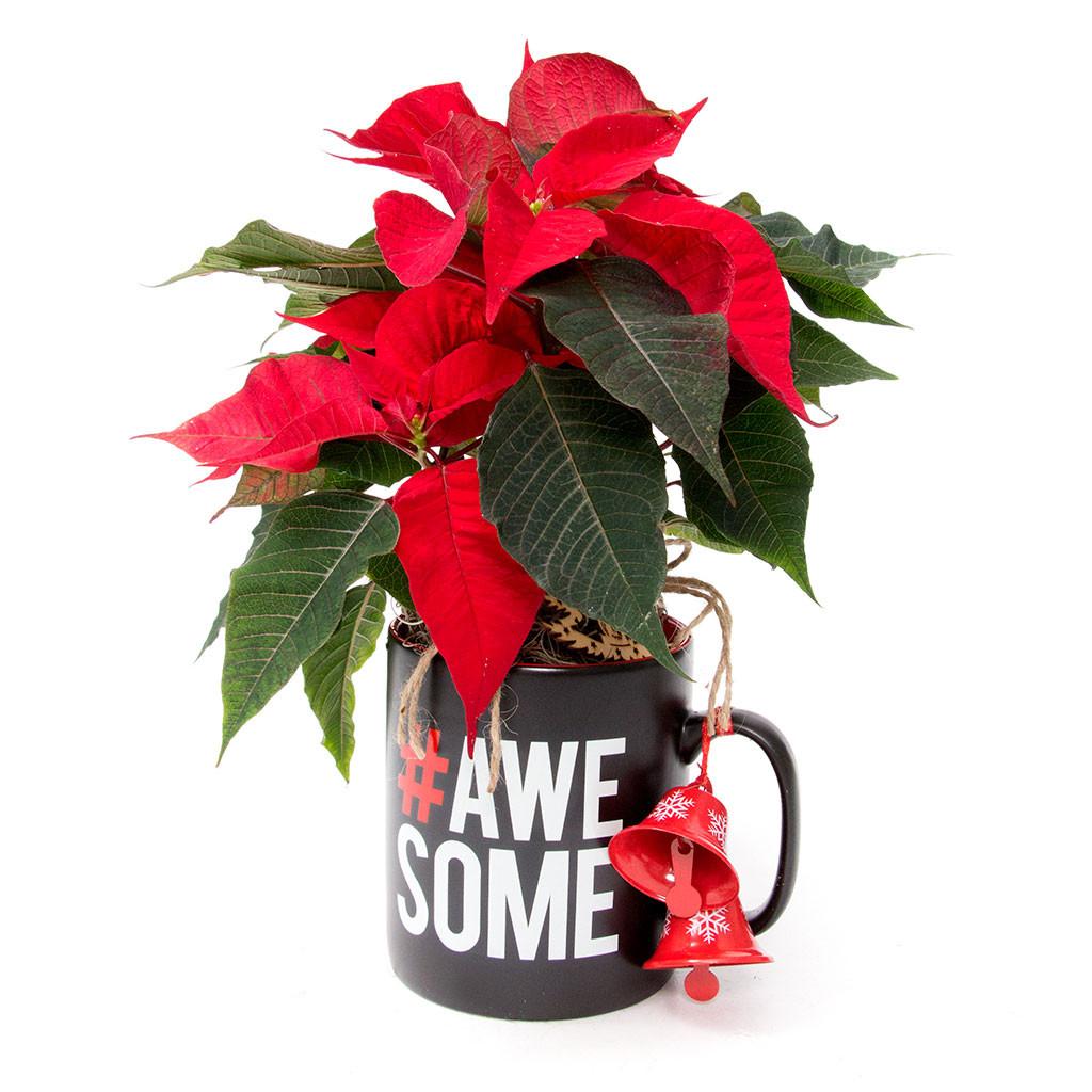 Top 5 Crăciunițe cadou, Crăciunița poinsettia cadou, doar 89,99 RON!