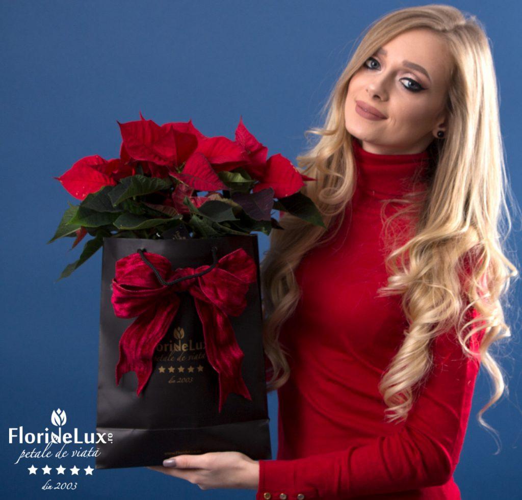 Crăciuniță flori de lux, doar 175,99 RON!