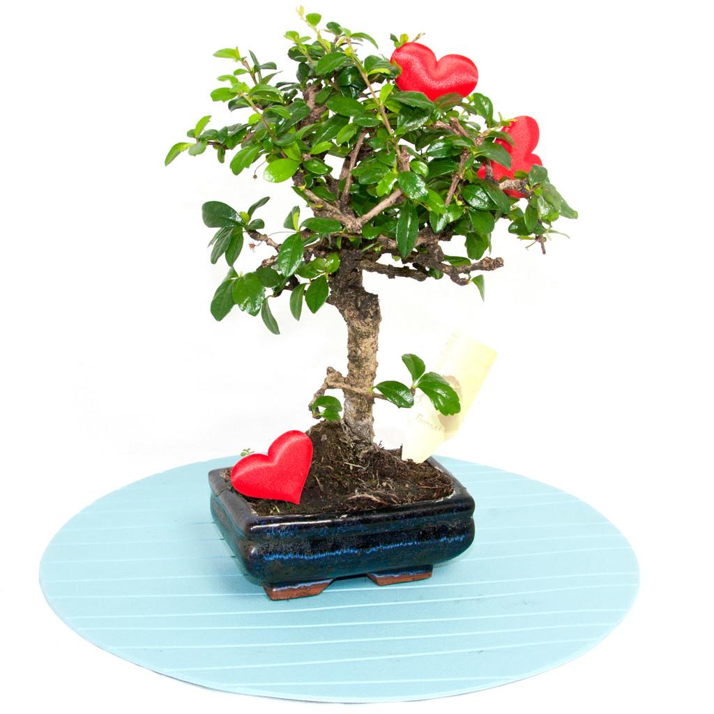 Cel mai bun ghid de cadouri pentru V-Day pentru bărbați, Bonsai îndrăgostit, doar 172,99 RON!